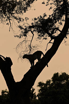 Photograph - Leopard At Dusk by Michele Burgess
