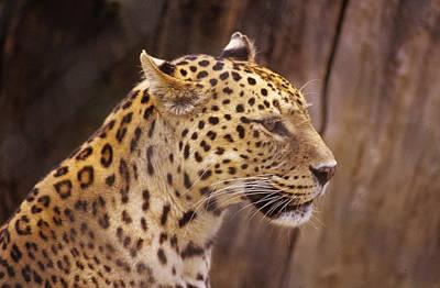 Photograph - Leopard by Donald Paczynski