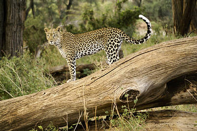 Photograph - Leopard In The Forest by Michele Burgess