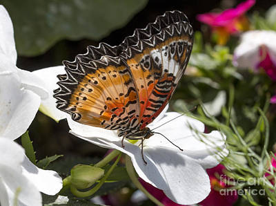 Photograph - Leopard Lacewing by Pietro Ebner