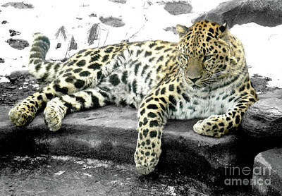Photograph - Leopard by Raymond Earley