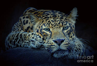 Photograph - Leopard by Savannah Gibbs