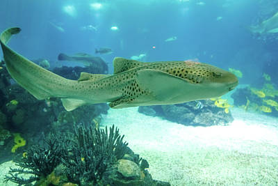 Photograph - Leopard Shark Underwater by Benny Marty