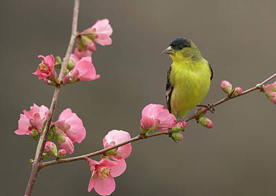 Photograph - Lesser Goldfinch by Doug Herr