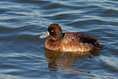 Lesser Scaup Photograph - Lesser Scaup 2 by Ram Vasudev