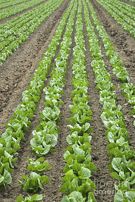 Romaine Photograph - Lettuce Field by Inga Spence
