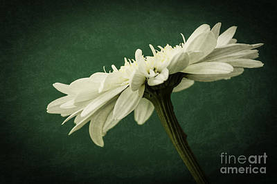 Photograph - Leucanthemum Highland White Dream by Steve Purnell