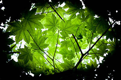 Light On Maple Leaves Art Print by Jonathan Hansen