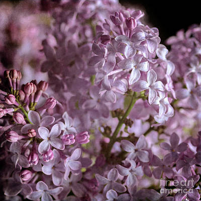 Photograph - Lilac Bouquet II by Tamara Becker