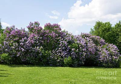 Lilac Photograph - Lilac by Irina Afonskaya