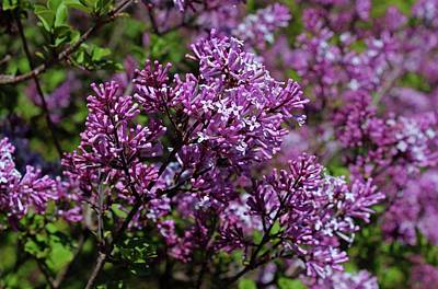 Photograph - Lilac Lane by Michiale Schneider