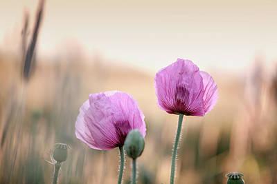 Lilac Poppy Flowers Art Print
