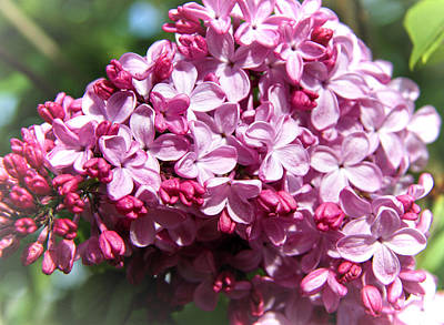 Photograph - Lilac by Sergey Nassyrov