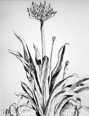 Lilies Drawings - Lily of the Nile by Vicki  Housel