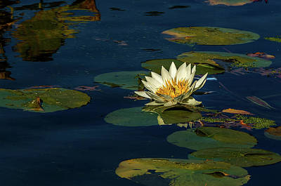 Lily Pad Print by Xavier Cardell