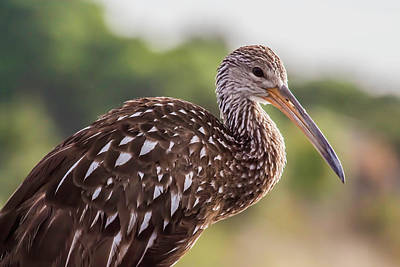 Photograph - Limpkin At Celery Fields by Richard Goldman