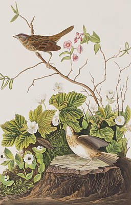 Finch Drawing - Lincoln Finch by John James Audubon