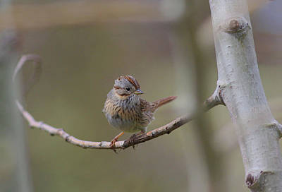Tree Photograph - Lincoln's Sparrow by Gary Wing