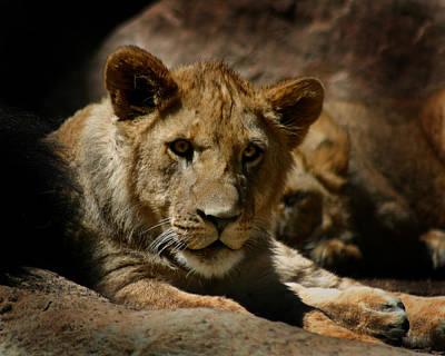 Lion Cub Art Print