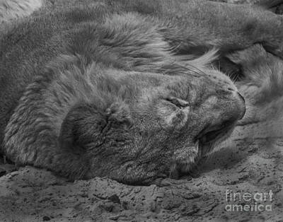 Photograph - Lion by Doc Braham