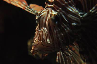 Photograph - Lion Fish  by Puzzles Shum