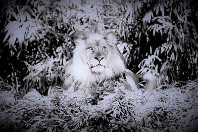Photograph - Lion by Heidi Poulin