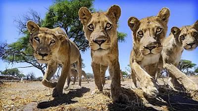 Cats Digital Art - Lion by Maye Loeser