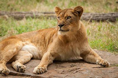 Photograph - Lioness 1 by Joye Ardyn Durham