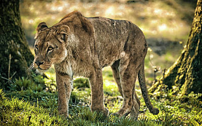 Photograph - Lioness by Chris Boulton