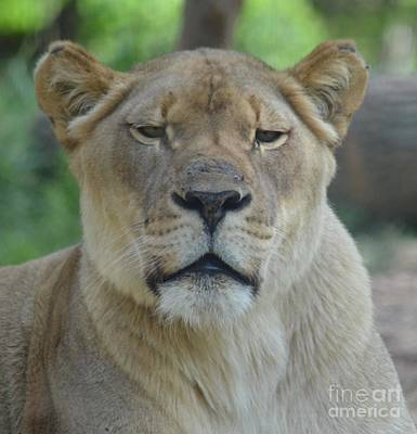Photograph - Lioness by Maria Urso