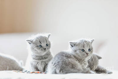 Photograph - Litter Of Kittens In Home. British Shorthairs by Michal Bednarek