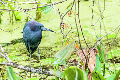 Photograph - Little Blue Heron by Ben Graham