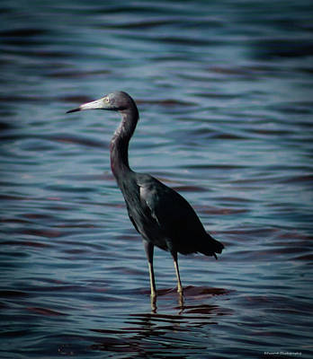 Photograph - Little Blue Heron  by Debra Forand