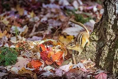 Photograph - Little Chipmunk by Lilia D