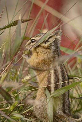 Photograph - Little Chipmunk by Loni Collins