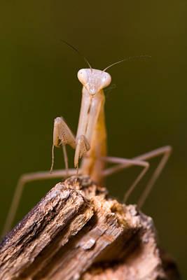 Mantodea Photograph - Little Mantis by Andre Goncalves