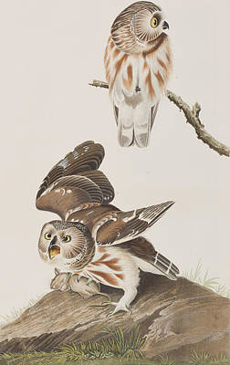 Little Owl Painting - Little Owl by John James Audubon