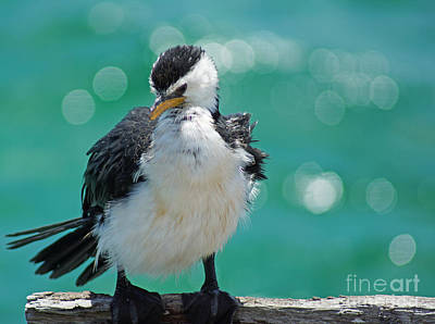 Little Pied Cormorant I Art Print by Cassandra Buckley