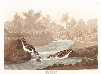 Sandpiper Wall Art - Painting - Little Sandpiper by John James Audubon