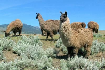 Photograph - Llamas by Frank Townsley