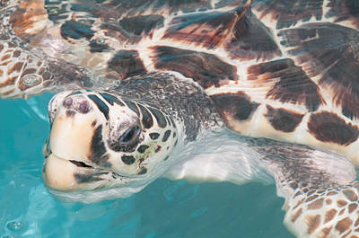Digital Art - Loggerhead Sea Turtles At Isla Mujeres Turtle Sanctuary by Carol Ailles