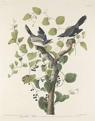 Loggerhead Shrike Art Print by Rob Dreyer