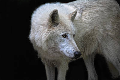 Portraits Royalty-Free and Rights-Managed Images - Lone Wolf by Joachim G Pinkawa
