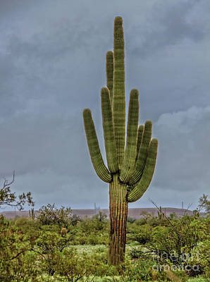 Photograph -  Lonesome Saguaro by Robert Bales
