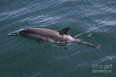 Photograph - Long-beaked Common Dolphins In Monterey Bay 2015 by California Views Mr Pat Hathaway Archives