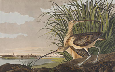 Edge Painting - Long-billed Curlew   by John James Audubon
