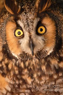 Long Eared Owl Art Print by Dennis Hammer