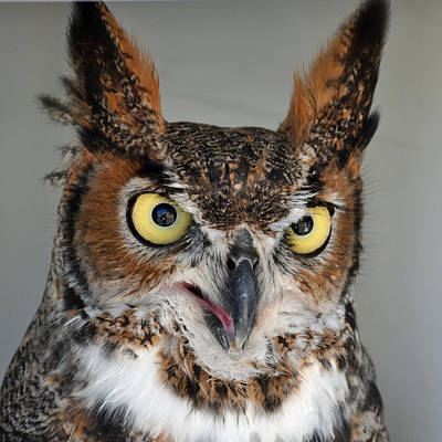 Eye Photograph - Great Horned Owl by Philip Ralley