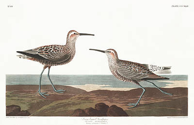 Sandpiper Wall Art - Painting - Long-legged Sandpiper by John James Audubon