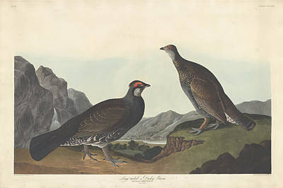 Painting - Long-tailed Or Dusky Grous by John James Audubon